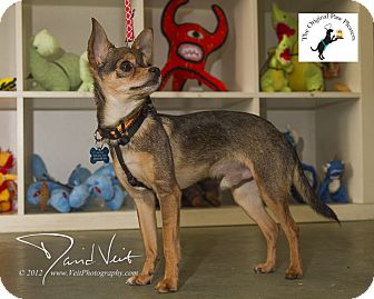 Chihuahua Mix Dog for Sale in San Diego, California - Tony