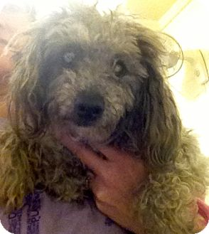 Poodle (Miniature) Mix Dog for Sale in Richmond, Virginia - Doodle