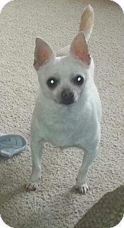 Chihuahua Mix Dog for adption in Clear Lake, Washington - Coco
