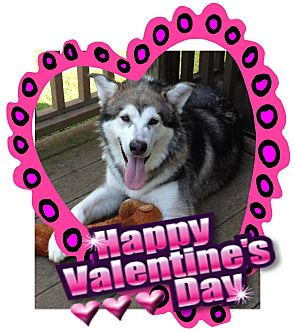 Alaskan Malamute Dog for adption in Creedmoor, North Carolina - Shadow Wolf