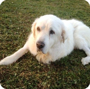 Great Pyrenees Dog for Sale in North Wales, Pennsylvania - Jackson