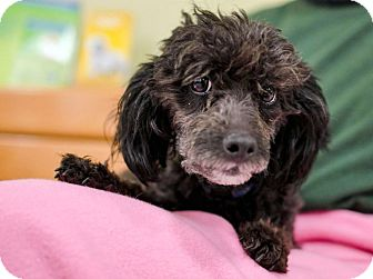 Poodle (Miniature) Dog for Sale in Howell, Michigan - Ebony