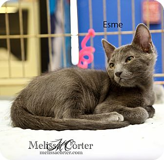 Russian Blue Kitten for Sale in Phoenix, Arizona - Esme
