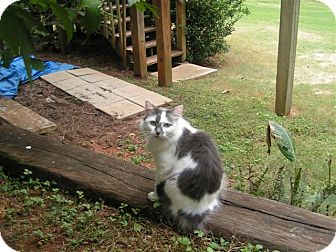 American Bobtail Cat for Sale in Braselton, Georgia - *Bunny
