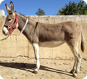 Donkey/Mule/Burro/Hinny Mix for Sale in Bangor, California - Tracy
