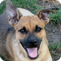 Shepherd (Unknown Type) Mix Dog for Sale in Sacramento, California - Georgie