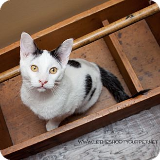 Domestic Shorthair Cat for adoption in Toronto, Ontario - Polka Dot