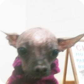 Chinese Crested Mix Dog for Sale in Tucson, Arizona - Myiah