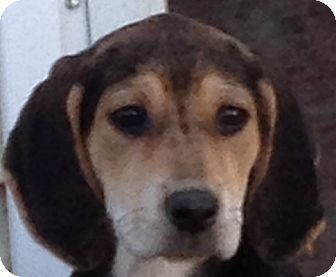 Black and Tan Coonhound/Hound (Unknown Type) Mix Puppy for Sale in Conway, Arkansas - Ayame