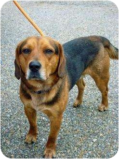 Beagle Mix Dog for adption in Brookville, Indiana - Wess