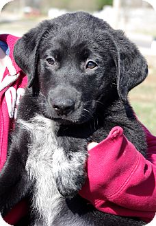 Labrador Retriever Mix Puppy for Sale in Huntsville, Alabama - Agate