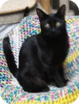 Domestic Shorthair Cat for adoption in Anchorage, Alaska - Phaedra