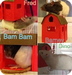 Rat for adoption in Scottsdale, Arizona - fred,barney,bambam,dino