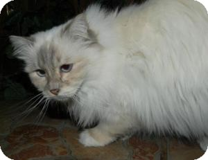 Birman Cat for Sale in Ennis, Texas - Catalina