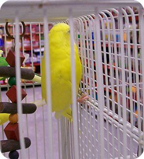 Budgie for Sale in Shawnee Mission, Kansas - Tinky