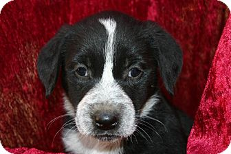 Golden Retriever/Border Collie Mix Puppy for Sale in Glastonbury, Connecticut - Peppermint