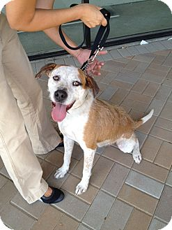 Australian Cattle Dog/Terrier (Unknown Type, Medium) Mix Dog for adption in Van Nuys, California - *URGENT* Oliver