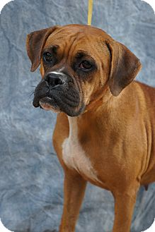 Boxer Mix Dog for Sale in manasquam, New Jersey - June
