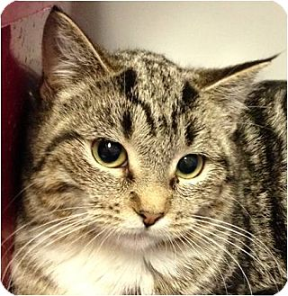 Domestic Mediumhair Kitten for adoption in Green Bay, Wisconsin - Icicle