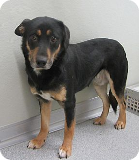 Australian Kelpie/Shepherd (Unknown Type) Mix Dog for Sale in Lincolnton, North Carolina - Lil Man