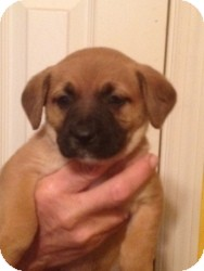 Jack Russell Terrier/Beagle Mix Puppy for Sale in Marlton, New Jersey - Baby Meghan