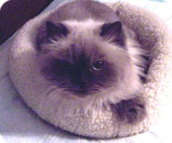 Himalayan Cat for Sale in Summerville, South Carolina - Emmy