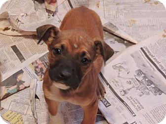 Boxer/German Shepherd Dog Mix Puppy for Sale in Clifton, Illinois - Daisy Mae
