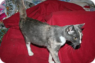 Domestic Shorthair Cat for Sale in SantaRosa, California - Belladonna