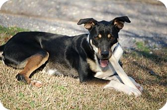 German Shepherd Dog Mix Dog for adption in Birmingham, Alabama - Olivia