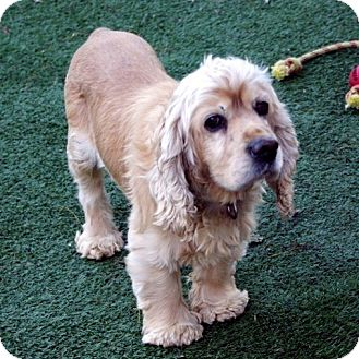 Cocker Spaniel Mix Dog for Sale in Sacramento, California - Watson