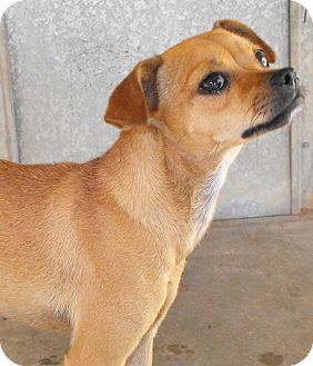 Perris, CA - Miniature Pinscher/Pug Mix. Meet MIMI a Dog for Adoption.