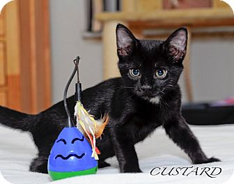 Domestic Shorthair Kitten for Sale in St. Louis, Missouri - Custard