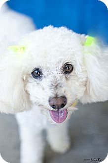 Poodle (Miniature) Dog for adption in Studio City, California - LuLu