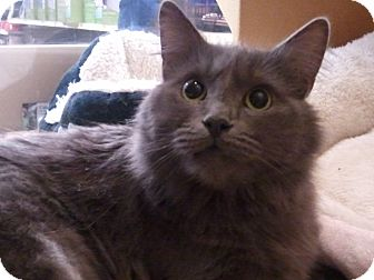 Domestic Mediumhair Cat for Sale in Diamond Bar, California - KAYA