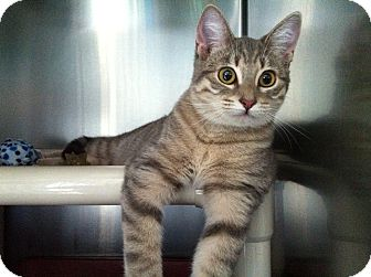 Domestic Shorthair Cat for Sale in Topeka, Kansas - Muppet