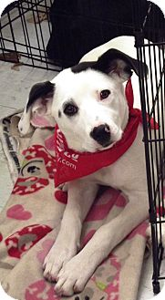 Dalmatian/Beagle Mix Puppy for adption in Morgantown, West Virginia - Sprinkles