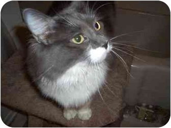 Domestic Shorthair Cat for adoption in Hesperia, California - Jennifer