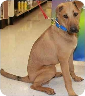 Rhodesian Ridgeback/Hound (Unknown Type) Mix Puppy for adption in Gilbert, Arizona - Jerome