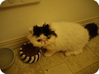 Persian Kitten for Sale in Sheridan, Oregon - Toupe