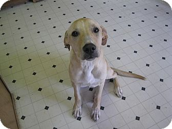 Labrador Retriever Mix Dog for Sale in Pelham, New York - Rianna