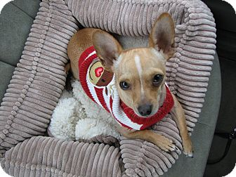 Chihuahua Dog for Sale in Temecula, California - Becker