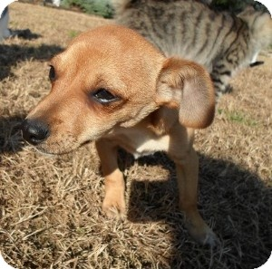 Dachshund/Chihuahua Mix Puppy for Sale in santa monica, California - Dante