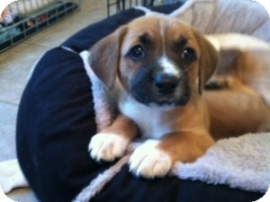 Jack Russell Terrier/Beagle Mix Puppy for Sale in Marlton, New Jersey - Baby Abby