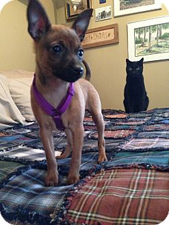 Miniature Pinscher Mix Puppy for Sale in Emsdale (Huntsville), Ontario - Sally - Sweet!