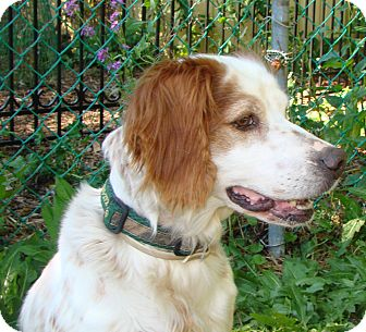 Brittany/English Setter Mix Dog for Sale in Columbus, Ohio - Dixie-Foster home needed!