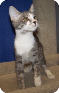 Domestic Shorthair Cat for Sale in Colorado Springs, Colorado - K-Hart9-Darwina