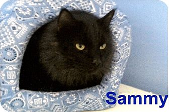 Domestic Longhair Cat for Sale in Medway, Massachusetts - Sammy