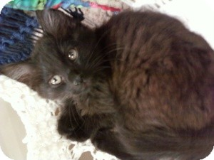 Domestic Mediumhair Kitten for adoption in Fort Lauderdale, Florida - Damen
