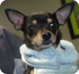 Chihuahua Mix Dog for Sale in Muskegon, Michigan - Tasha