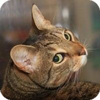 Domestic Shorthair Cat for Sale in Albany, New York - Trekkie
